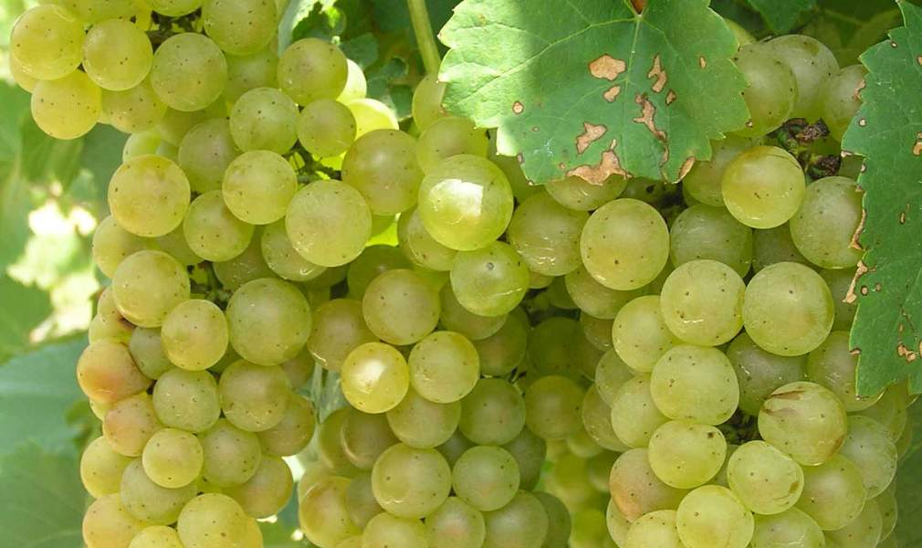 Chardonel Hybrid Grapes